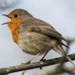 European Robin - Rödhake