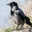 Hooded Crow - Kråka