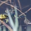 Edible Frog - Ätlig groda