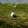 Arctic Tern attacking Great Black-backed Gull - Silvertärna attackerar havstrut