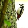Great Spotted Woodpecker - Större hackspett