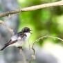 Pied Flycatcher - Svartvit flugsnappare
