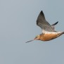 Bar-tailed godwit - Myrspov