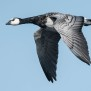 Barnacle goose - Viktindad gås