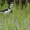 White-backed Stilt