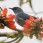Bluish Flowerpiercer