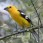 Golden Grosbeak