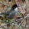 Bay-crowned Brushfinch