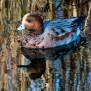 Eurasian wigeon - Bläsand
