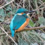 Common Kingfisher - Kungsfiskare