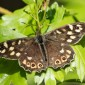 Speckled Wood - Kvickgräsfjäril