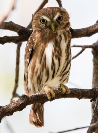Ferruginous Pygmy Owl - skrämmer tättingar