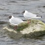 Black-headed Gull - Skrattmås