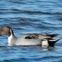 Northern pintail  - Stjärtand