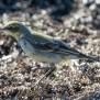 Eastern Yellow Wagtail - Östlig gulärka
