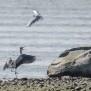 Black-headed gull attacking Grey Heron - Skarttmås bråkar med häger