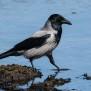 Hooded Crow - Kråka