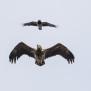 White-tailed Eagle and Hooded Crow - Havsörn och Kråka