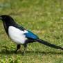 Eurasian Magpie - Skata