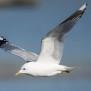 Common Gull - Fiskmås