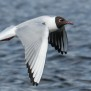Black-headed Gull - Skrattmås