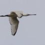 Eurasian Spoonbill - Skedstork
