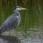 Grey Heron - Gråhäger