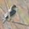 Marsh Warbler - Kärrsångare