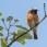 Common Redstart - Rödstjärt