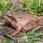 Agile Frog - Långbensgroda