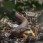 Common European Adder eating a baby-robin - Huggorm äter en rödhake-unge