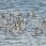 Dunlins and a few Red Knots - Kärrsnäppor och några kustsnäppor