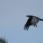 Common Raven - Korp