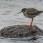 Common Redshank - Rödbena