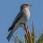 Spotted Flycatcher - Grå flugsnappare