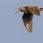 Eurasian Woodcock - Morkulla