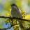 Lesser Whitethroat - Ärtsångare