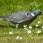 Wood Dove - Ringduva