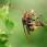 European hornet - Bålgeting
