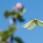 Common Brimstone - Citronfjäril