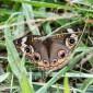 Junonia coenia - Common Buckeye