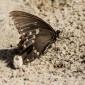 Papilio troilus - Spicebush Swallowtail