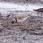 Broad-billed Sandpiper - Myrsnäppa - photo from video