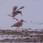 Mating Redshanks - Parande rödbenor - photo from video