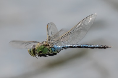 Blue emperor, male. Sweden´s largest dragonfly