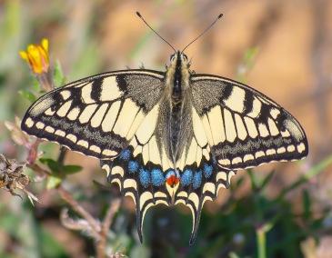 Old Wolrd Swallowtail - Makaonfjäril