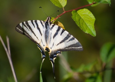 Scarce Swallowtail - Segelfjäril