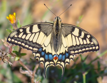 Old Wolrd Swallowtail - Makaonfjäril