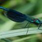 Banded Demoiselle male - Blåbandad jungfruslända hanne
