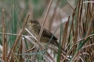 Gräshoppsångaren - en fågel